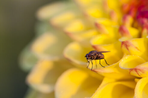 Germany, Hesse, Insect on dahlia flower, close up - SR000298