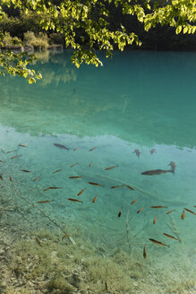 Croatia, Karlovac, School of fish in Plitvice Lakes National Park - GF000058