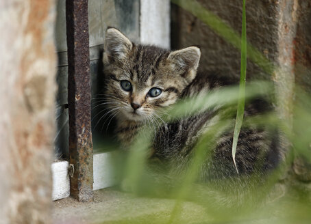 Germany, Baden Wuerttemberg, Shy hiding kitten, close up - SLF000209