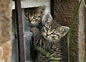 Germany, Baden Wuerttemberg, Kittens playing in broken window - SLF000204