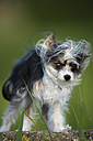 Germany, Baden Wuerttemberg, Chinese crested dog standing on stone and shaking, close up - SLF000180