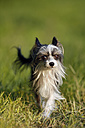Germany, Baden Wuerttemberg, Chinese crested dog running in grass - SLF000183