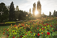 Germany, Constance, Dahlia flowers during sunset - SH000795