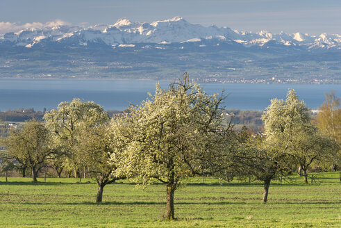 Germany, View of fruit trees in front of Swiss Alps - SH000800