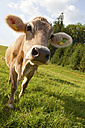 Germany, Bavaria, Cow in field - SKF001340