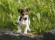 Germany, Baden-Wuerttemberg, Jack Russel Terrier puppy standing on stone in front of a meadow - SLF000236