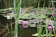 Germany, Saxony, Water lilies in pond - JTF000475