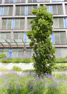 Germany, Duisburg, Oak tree and lavender flowers in front of building - HL000211
