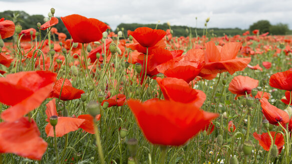 Germany, Field of red poppy flowers - HL000206