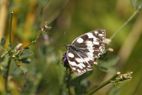 Austria, Marbled White in Nationalpark Neusiedler See Seewinkel - GFF000123