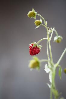 Germany, Baden Wuerttemberg, Wild strawberries, close up - SBDF000105