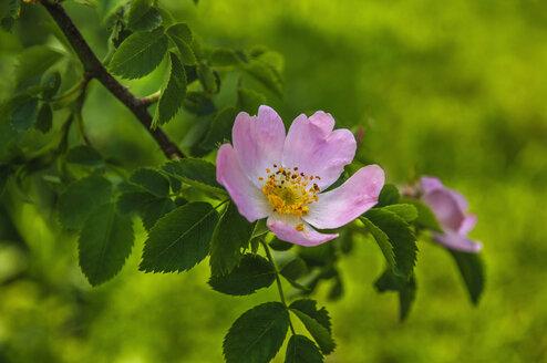 Pink Christmas rose (Helleborus niger) - MOF000188