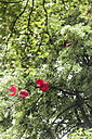 Germany, Berlin, heart shaped balloons on tree - NG000024