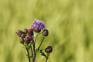 Germany, Creeping thistle flowers, close up - HOHF000192