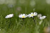 Germany, Lower Saxony, Daisies in green grass - OD000270