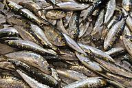 Portugal, Lagos, Sardines, close up - WDF001898