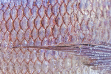 Portugal, Lagos, Seabream, close up - WD001783