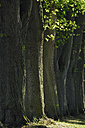 Germany, Mecklenburg Western Pomerania , Tree trunks, close up - RUEF001081