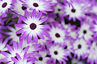 Holland, Osteospermum flowers, close up - RUE001092