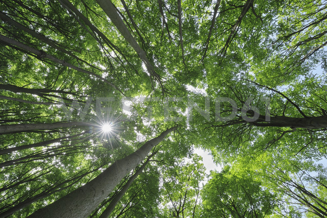 Germany, Mecklenburg Western Pomerania, Beech trees in forest - RUEF001102