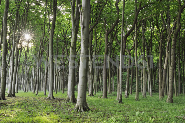 Germany, Mecklenburg Western Pomerania, Beech trees in forest - RUEF001104