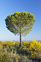 Spain, Pine tree in spring at Donana National Park - RUEF001106