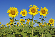 Italy, Sunflowers against blue sky, close up - RUEF001110