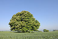 Germany, Bavaria, Horse chestnut tree in spring - RUEF001142