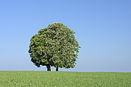Germany, Bavaria, View of Horse chestnut tree - RUEF001143