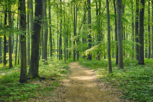 Germany, Footpath through beech - RUEF001147