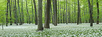 Germany, View of Ramson and beech trees in forest - RUEF001148