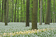 Germany, View of Ramson and beech trees in forest - RUEF001149