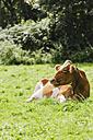 Guernsey, Guernsey cattle lying on grass - EVGF000157