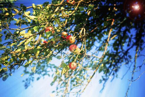 Germany, Saxony, Fresh apples on tree - MJ000320