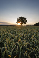 Germany, Baden Wuerttemberg, View of wheat field at sunset - ELF000361