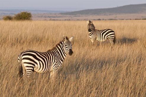 Kenya, Zebras at Maasai Mara National Reserve - CB000143