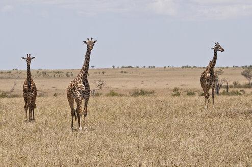 Kenya, Masai giraffes at Maasai Mara National Reserve - CB000127