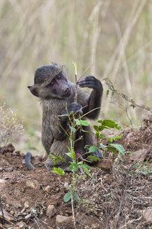 Kenya, Yellow baboon at Maasai Mara National Reserve - CB000117