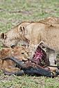 Africa, Kenya, Lions eating common tsessebe at Maasai Mara National Reserve - CB000171