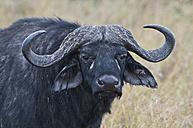 Africa, Kenya, Cape buffalo at Maasai Mara National Reserve - CB000167