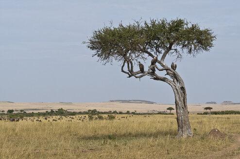 Africa, Kenya, Vultures perching on tree at Maasai Mara National Reserve - CB000161