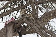 Africa, Kenya, Leopard feeding blue wildebeest on tree at Maasai Mara National Reserve - CB000157