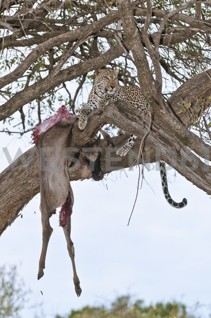 Africa, Kenya, Leopard feeding blue wildebeest on tree at Maasai Mara National Reserve - CB000156