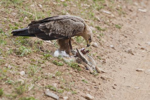 Africa, Kenya, Tawny eagle with killed rabbit at Maasai Mara National Reserve - CB000145