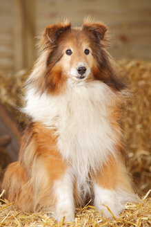 Sheltie, Shetland Sheepdog sitting at hay - HTF000009