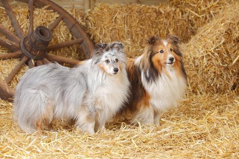 Two Shelties, Shetland Sheepdogs standing at hay - HTF000021