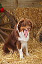 Australian Shepherd yawning - HTF000040
