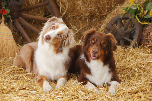 Two Australian Shepherd lying side by side at hay - HTF000050