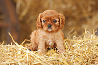 Cavalier King Charles spaniel puppy sitting at hay - HTF000059