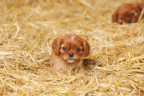Two Cavalier King Charles spaniel puppies at hay - HTF000062